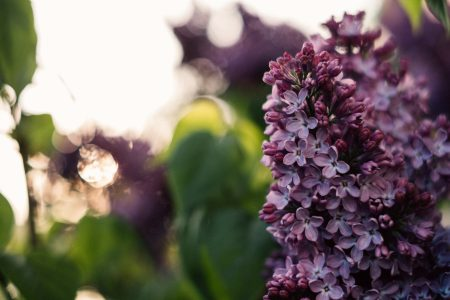 Purple lilac - free stock photo