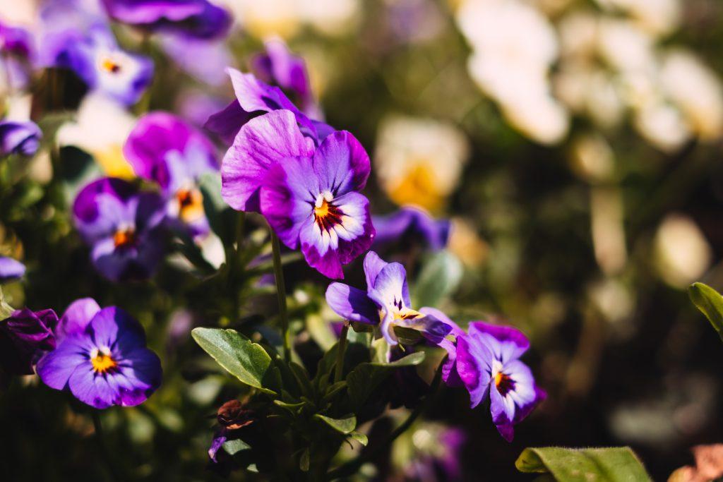 Purple pansies - free stock photo
