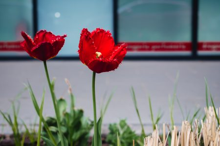 Red tulips 2 - free stock photo
