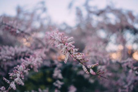 Redbud tree blossom 2 - free stock photo