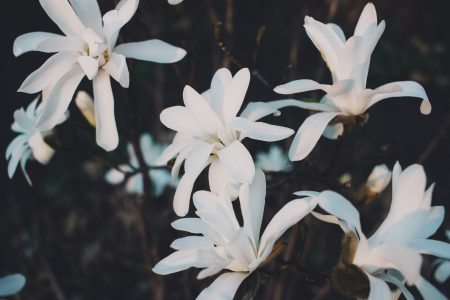 White magnolia flowers - free stock photo