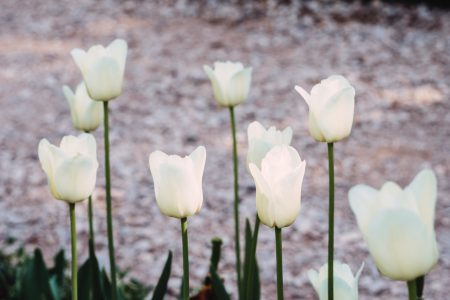 White tulips - free stock photo
