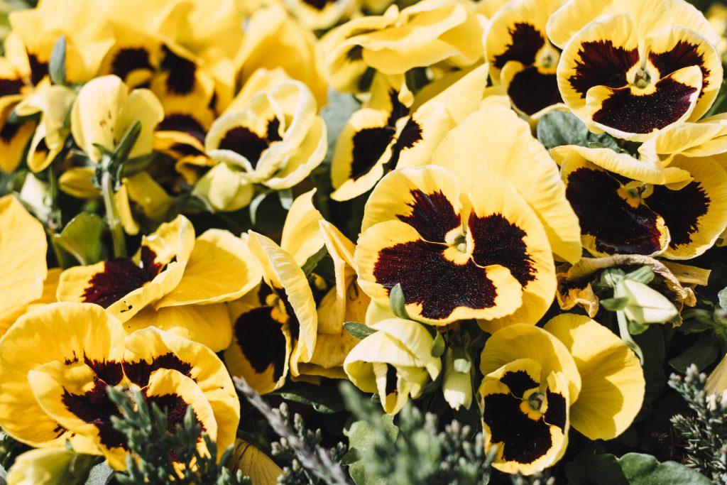 Yellow pansies - free stock photo