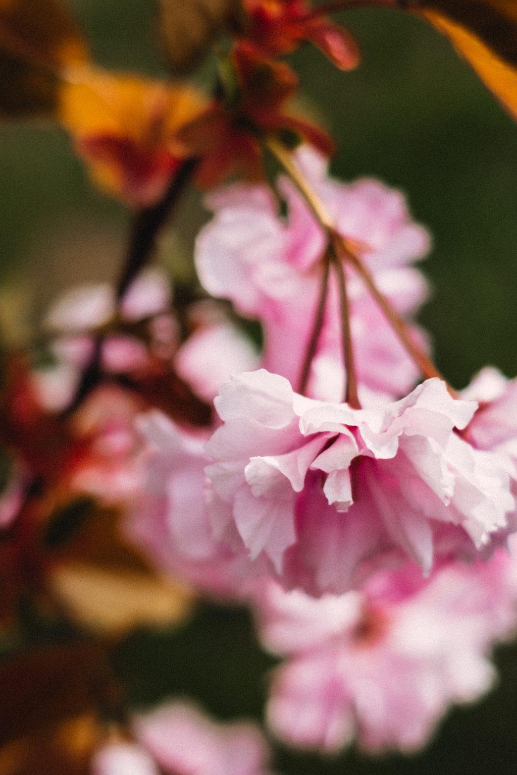 Cherry blossom closeup - free stock photo