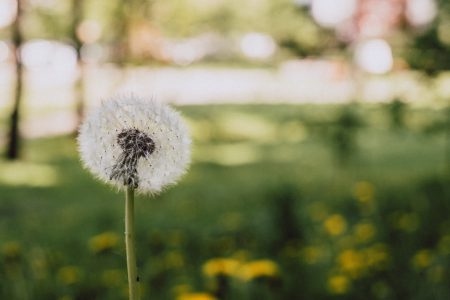 Dandelion 2 - free stock photo