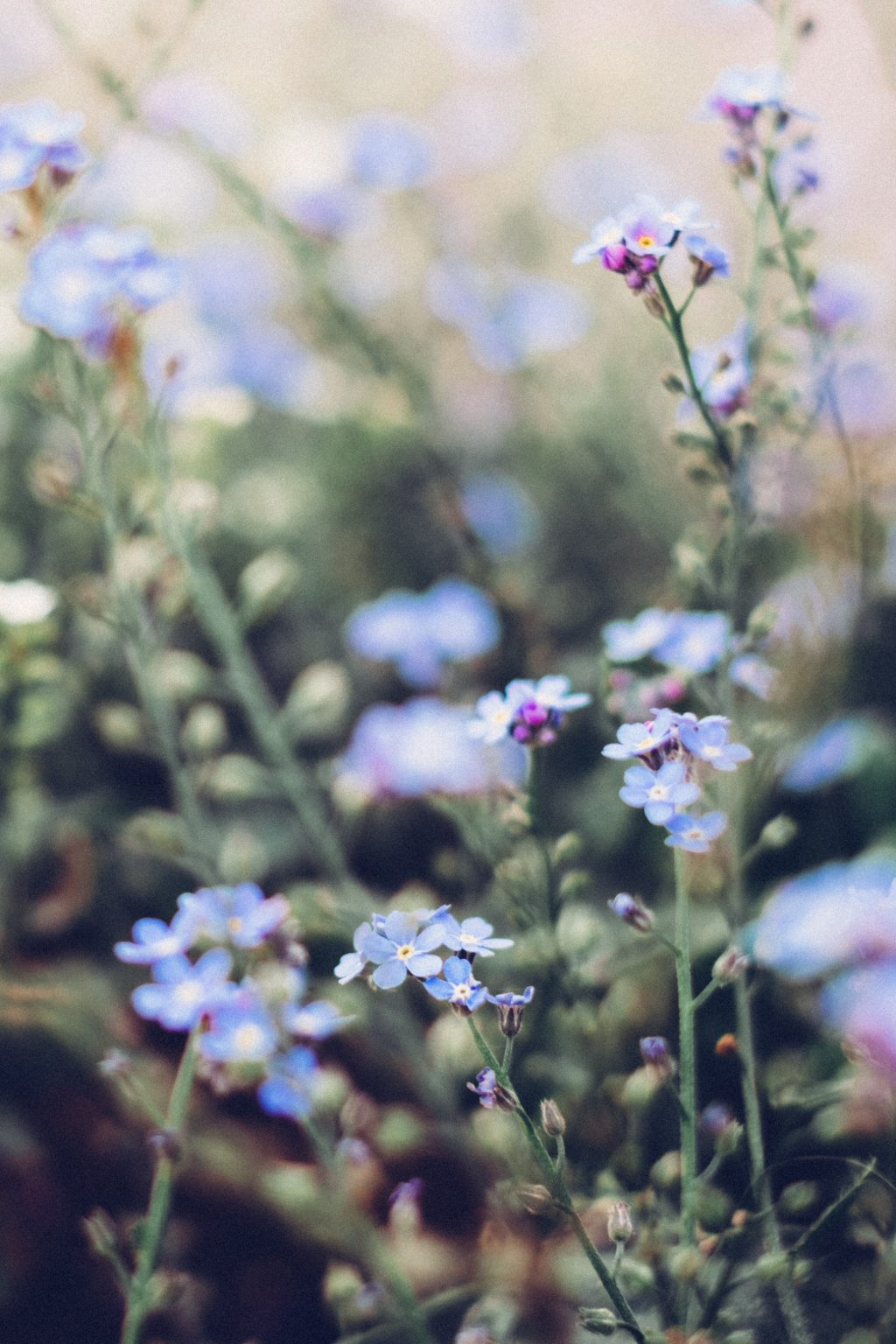 Forget-me-nots 6 - free stock photo