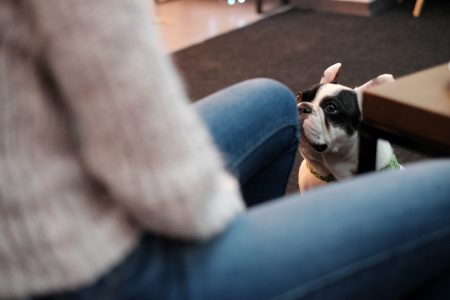 French Bulldog looking at his owner - free stock photo