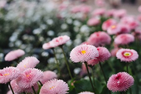 Pink daisies 2 - free stock photo