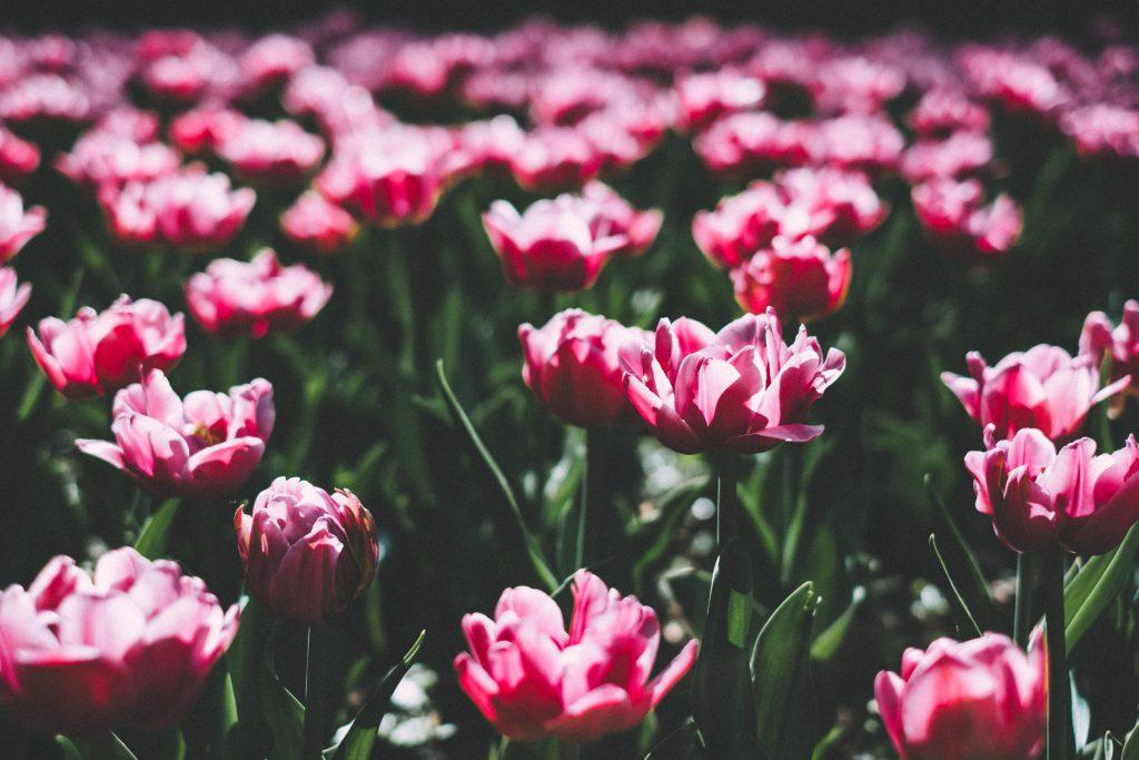 Pink tulips 5 - free stock photo