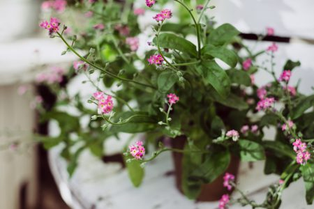 Potted pink flower - free stock photo