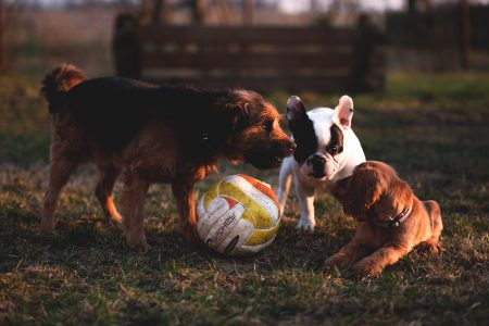 Three dogs with a ball - free stock photo