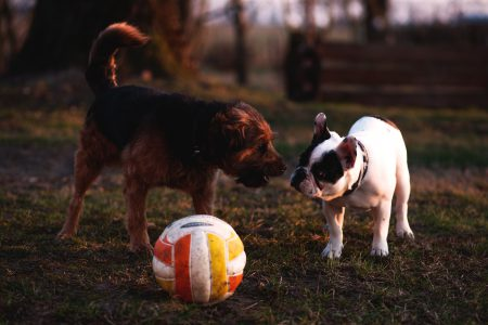 Two dogs with a ball - free stock photo