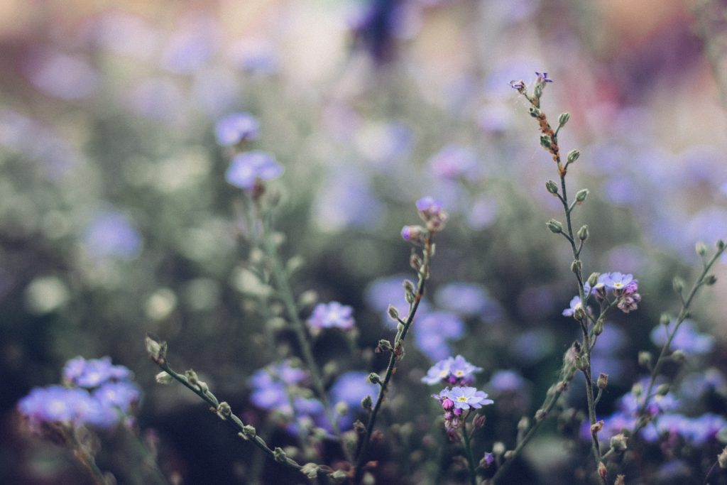 Forget-me-nots 7 - free stock photo