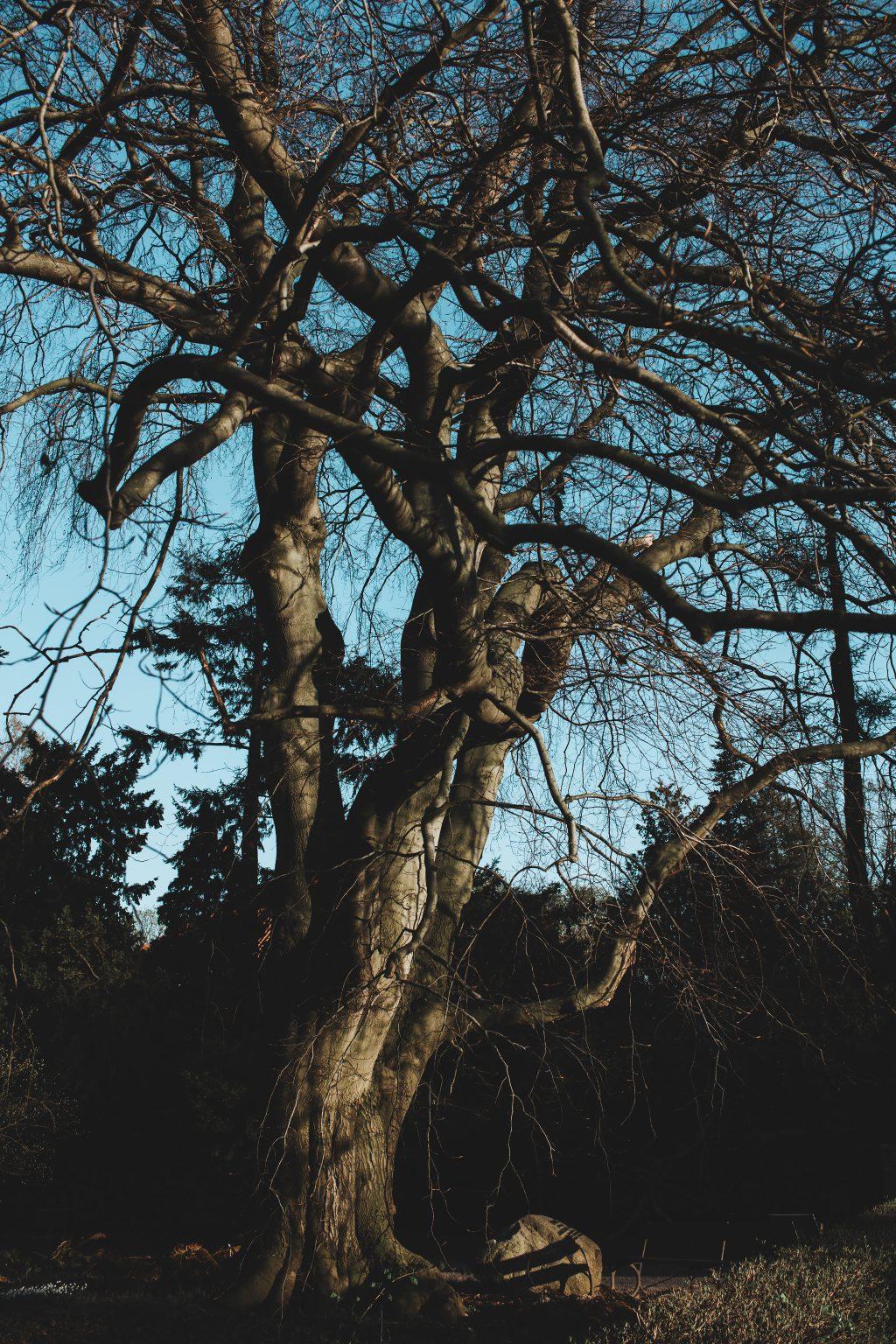 Old leafless tree - free stock photo