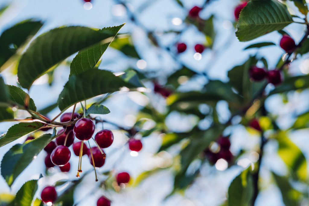 Red cherries on the tree - free stock photo