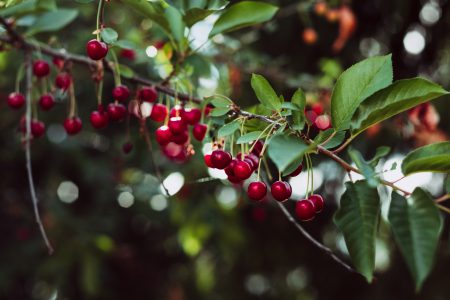 Red cherries on the tree 2 - free stock photo
