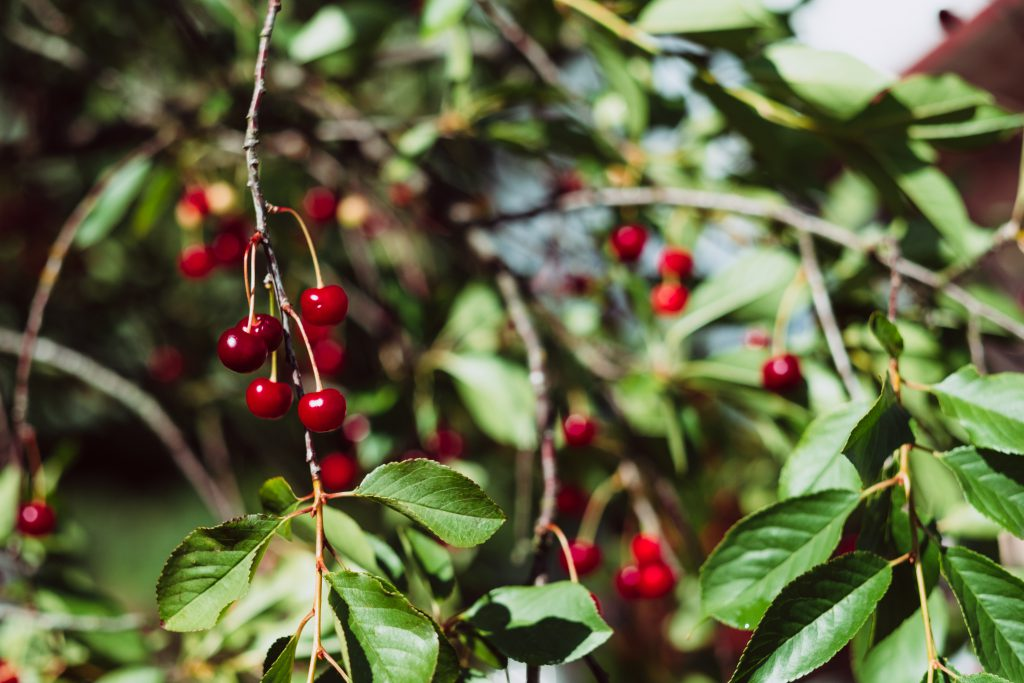 Red cherries on the tree 3 - free stock photo