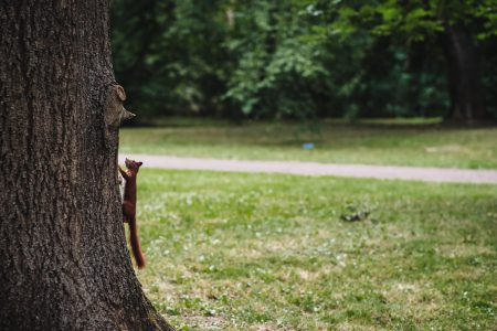 Squirrel on a tree - free stock photo