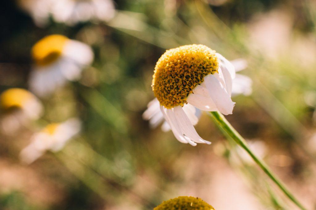 Camomile closeup - free stock photo