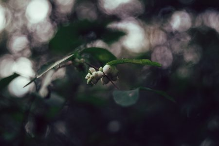 Snowberry tree bokeh - free stock photo
