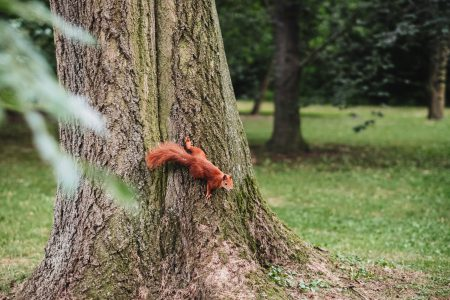Squirrel on a tree 2 - free stock photo