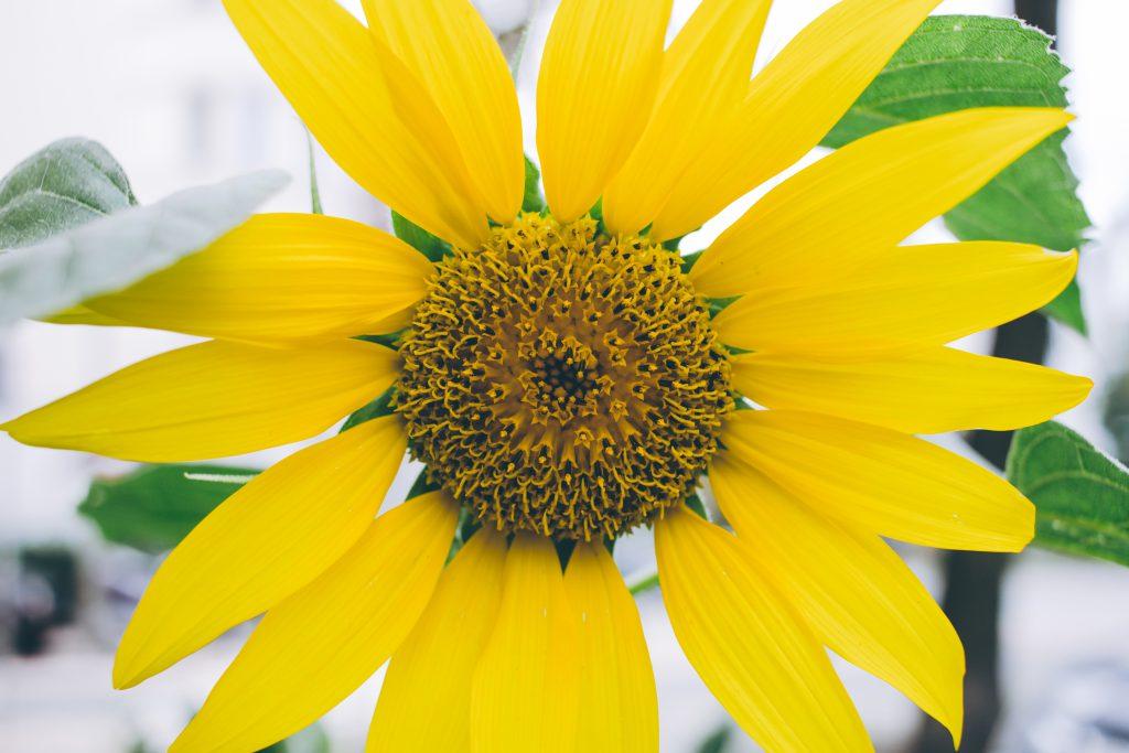 Sunflower 2 - free stock photo