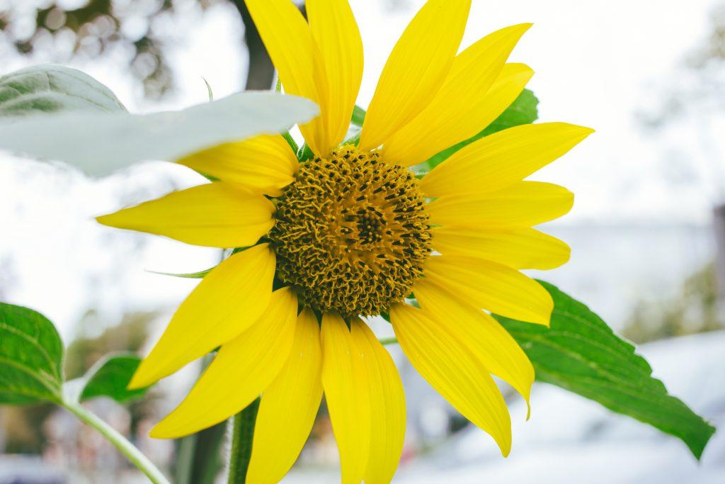 Sunflower 3 - free stock photo