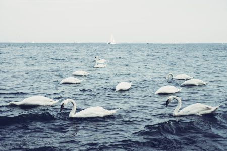 Swans floating on the sea - free stock photo