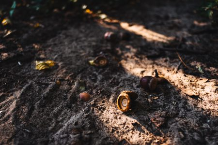 Acorns in the forest - free stock photo