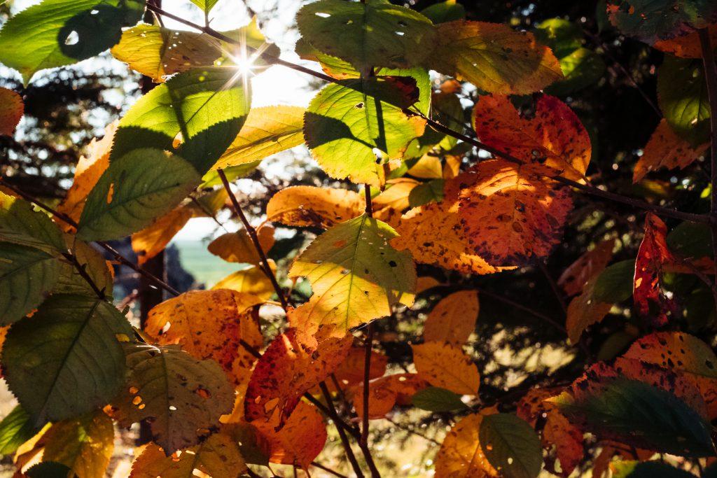 Autumn cherry tree leaves - free stock photo
