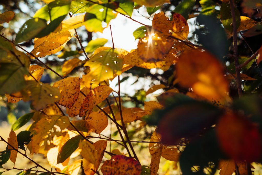 Autumn cherry tree leaves 2 - free stock photo