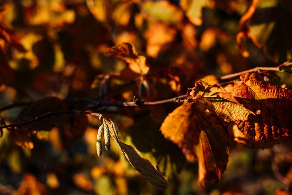 Autumn hazel tree branch - free stock photo