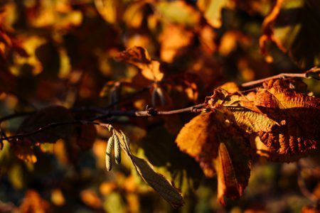 Autumn hazel tree branch - free stock photo