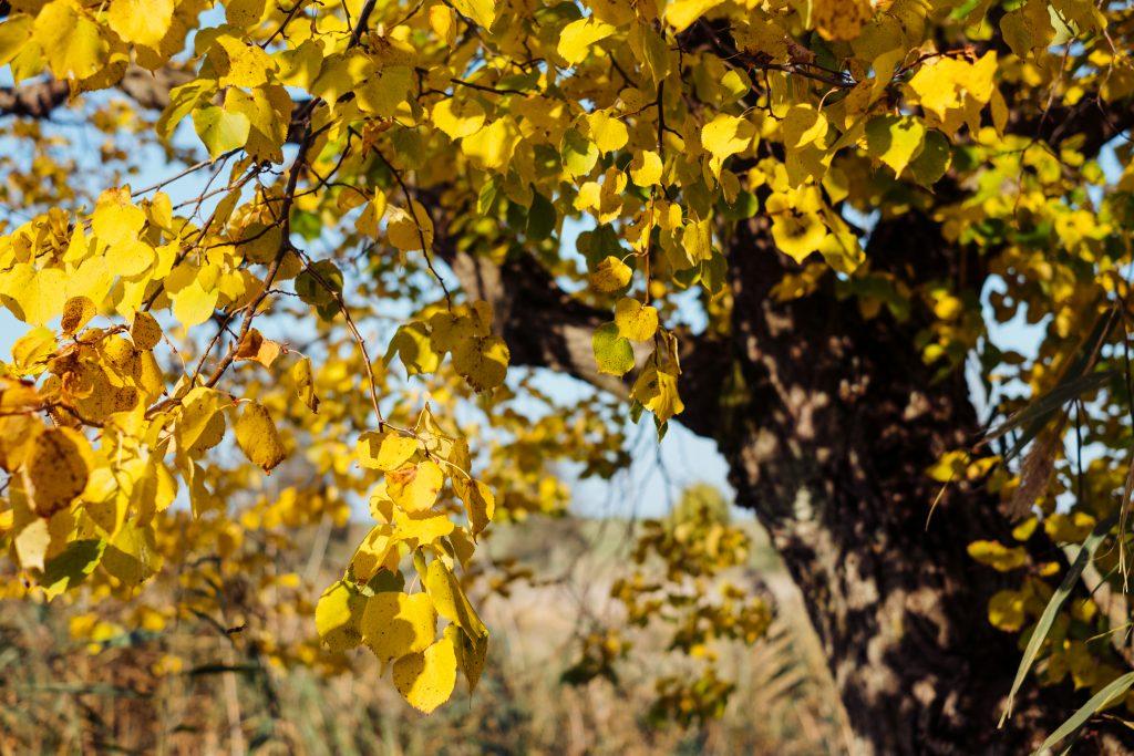 Autumn linden tree - free stock photo