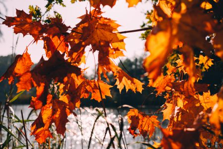 Autumn maple tree by the lake - free stock photo