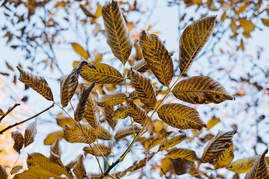 Autumn walnut tree leaves - free stock photo