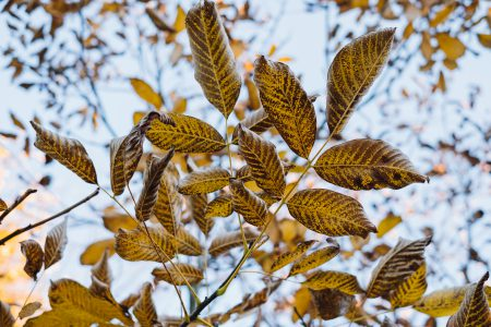 Autumn walnut tree leaves - free stock photo