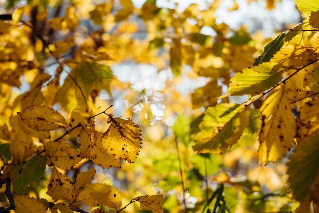 Birch yellow leaves - free stock photo