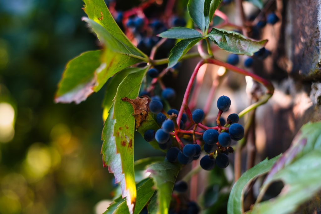 Dacorative grapes on a wall closeup - free stock photo