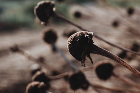 Dried flower buds closeup - free stock photo