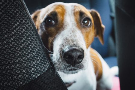 Jack Russell Terrier in the car closeup - free stock photo