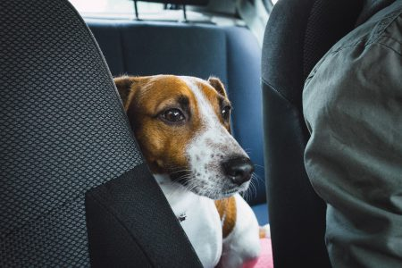 Jack Russell Terrier in the car closeup 2 - free stock photo