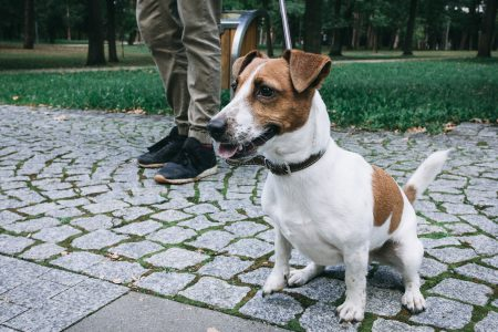 Jack Russell Terrier in the park 3 - free stock photo