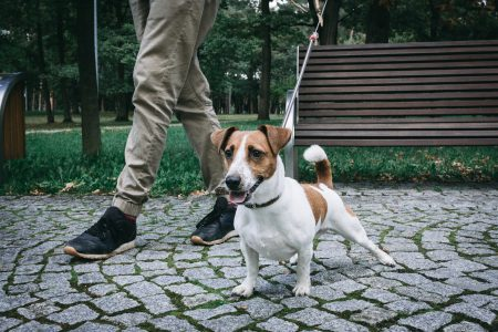 Jack Russell Terrier in the park 4 - free stock photo