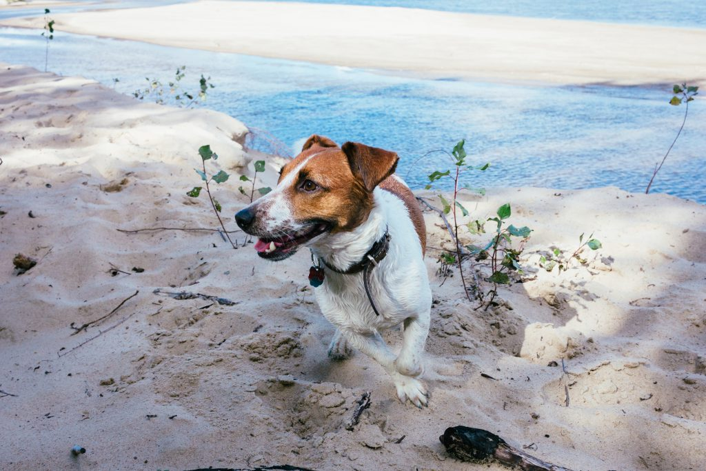 Jack Russell Terrier on a beach - free stock photo
