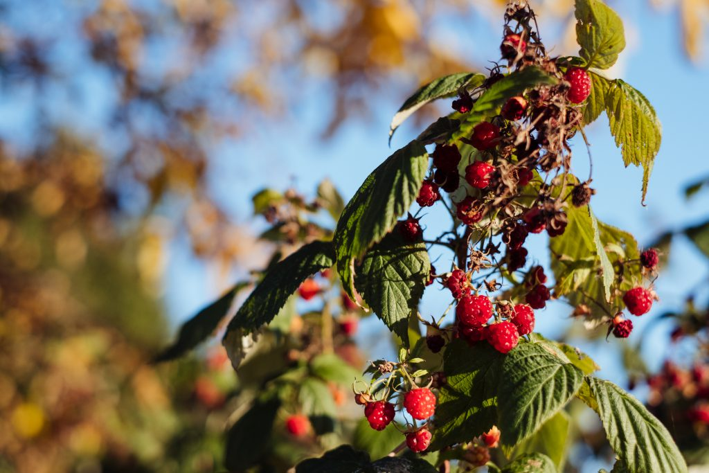 Raspberry bush 2 - free stock photo