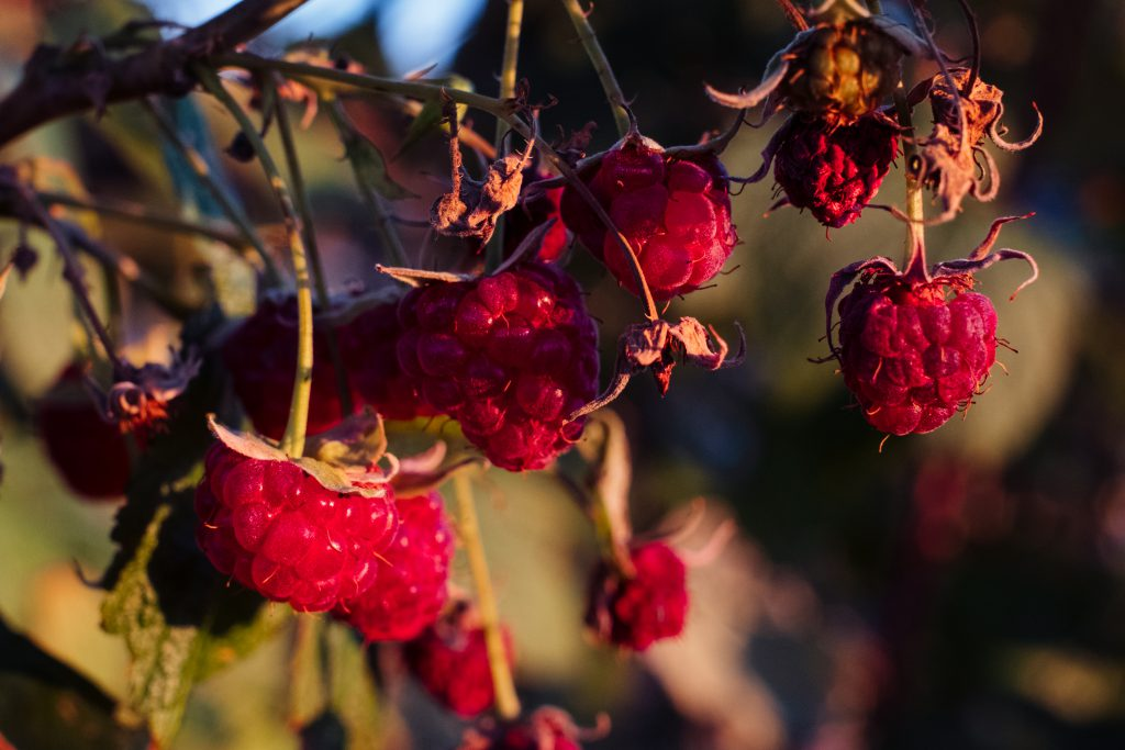 Raspberry bush closeup - free stock photo