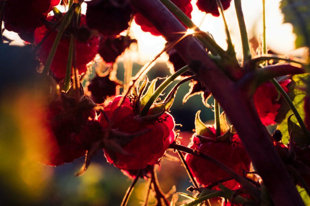 Raspberry bush closeup 2 - free stock photo