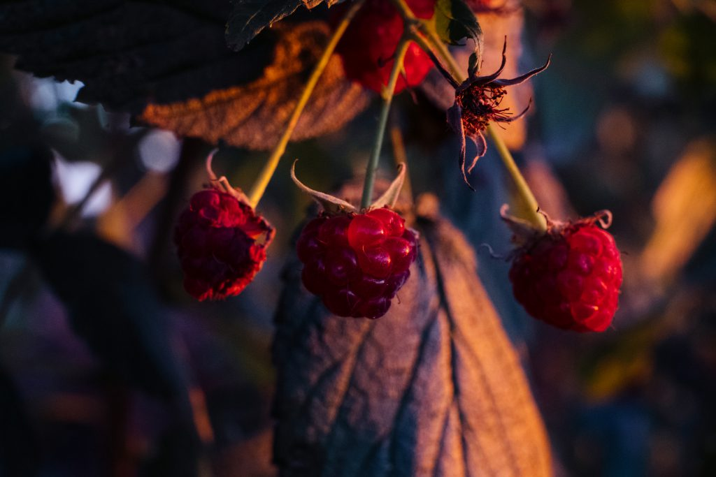 Raspberry bush closeup 3 - free stock photo
