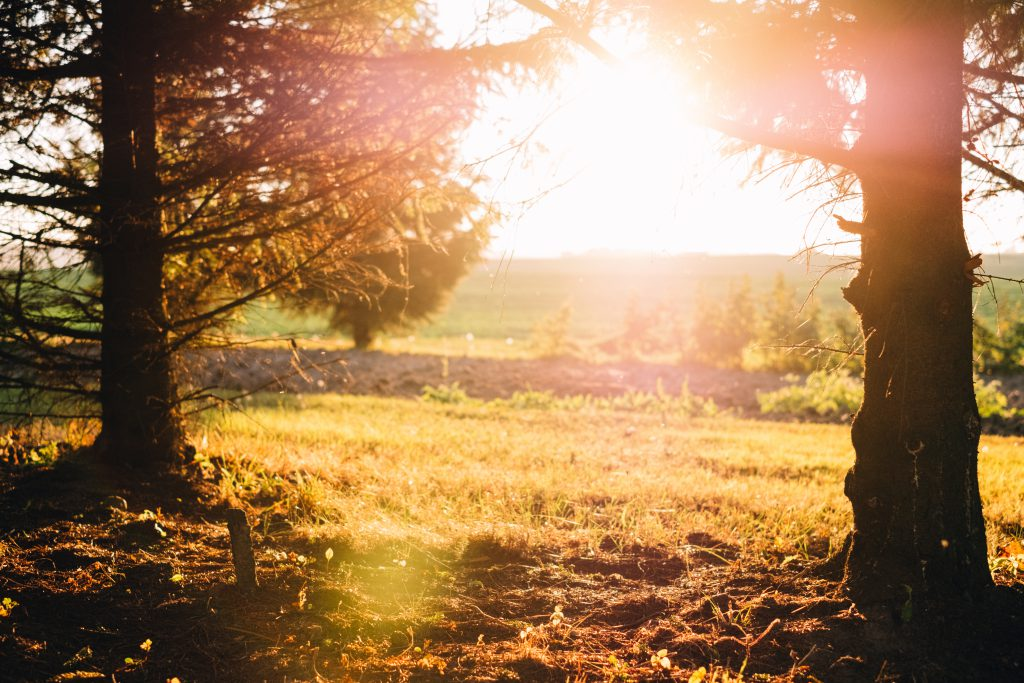 Spruce trunks in the autumn sunset light - free stock photo